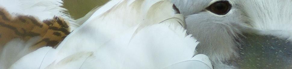 Dürgő túzokkakas portré - Motkó Béla felvétele